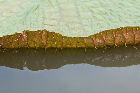giant leaves of the Victoria waterlily  photo