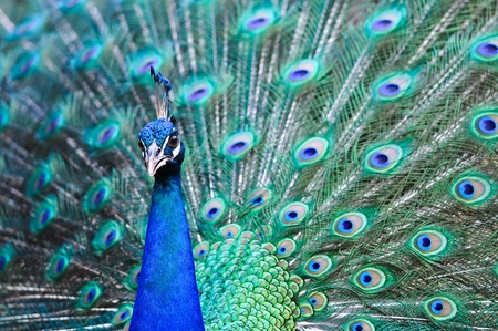 frontal portrait: Beautiful spread of a peacock