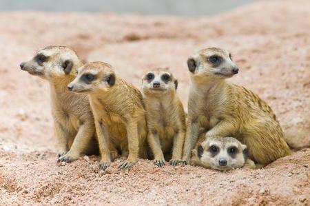 Family of Meerkats photo