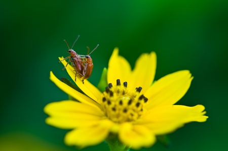 two bugs mating on yellow flower  photo