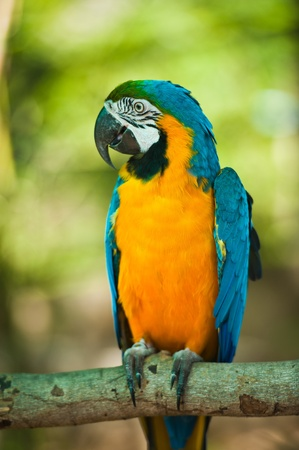 Close Up of Blue and Yellow Macaw  photo
