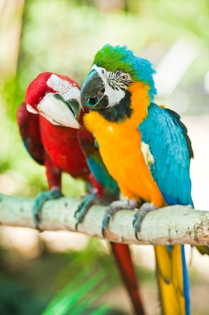 Parrot macaw couple