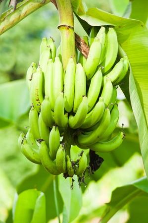 green bananas on the Tree photo