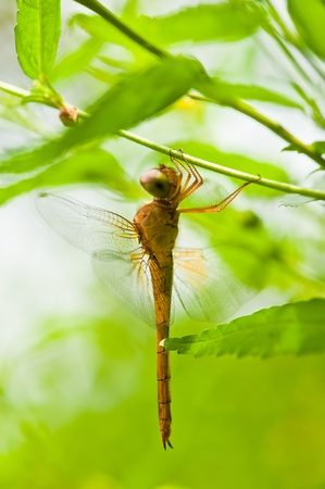 legs spread: Dragonfly Close-up green background Stock Photo