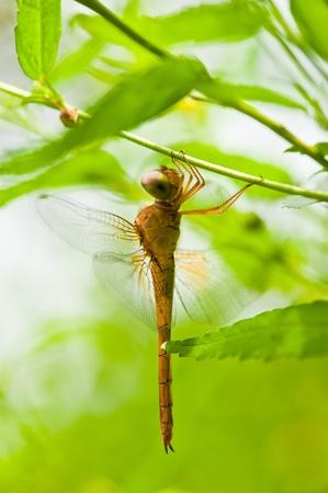 beine spreizen: Dragonfly Nahaufnahme grünem Hintergrund