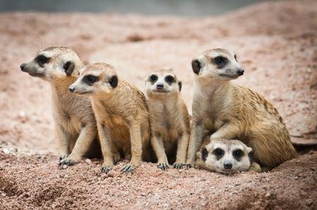 mangosta: Familia de todos
