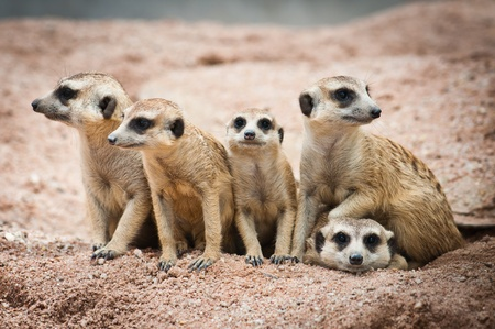 face guard: Family of Meerkats