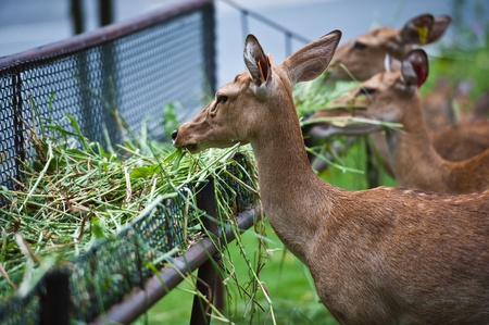 deers eating  photo