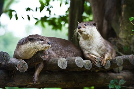 small clawed: Oriental Small Clawed Otter ( Aonyx cinerea)  Stock Photo