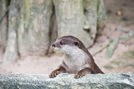 small clawed: An Oriental Small Clawed Otter ( Aonyx cinerea)