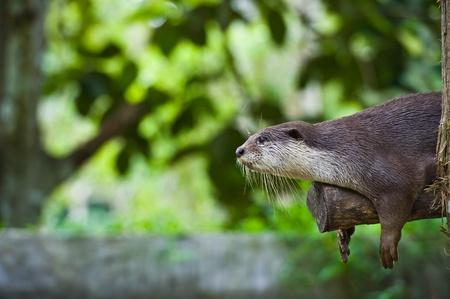 aonyx cinerea: An Oriental Small Clawed Otter ( Aonyx cinerea)