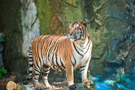 sumatra: Sumatra Tiger