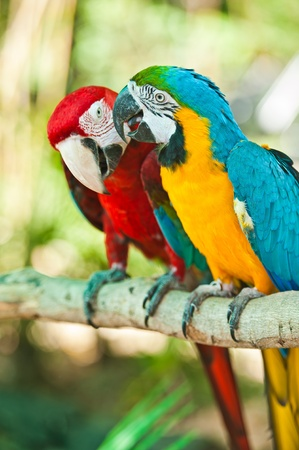 Parrot macaw couple photo