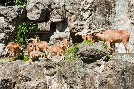 brown mountain goat family Stock Photo - 10540168