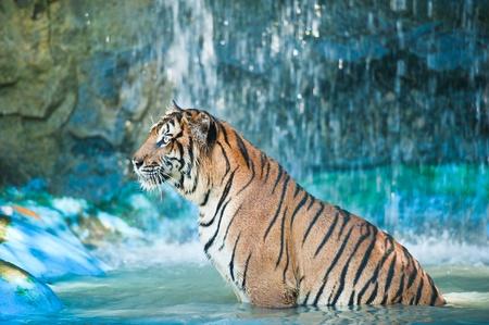 sumatra: Tiger in the water