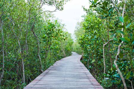 mangrove forest: Mangrove Forest Broadwalk Stock Photo