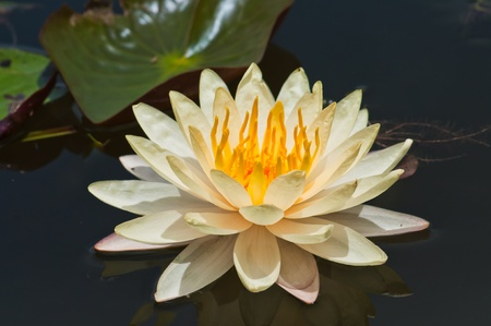 white lotus Stock Photo - 10539958
