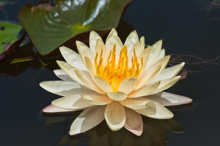 white lotus Stock Photo - 10539958