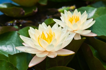 lotus blossom: two white lotus  Stock Photo