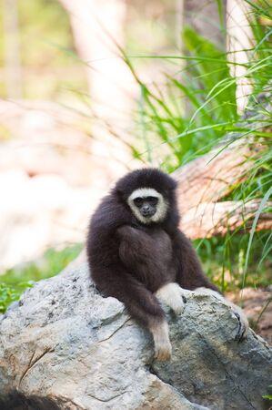 sumatra: white handed Gibbon or Lar Gibbon