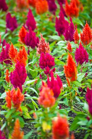 Celosia argentea like a colourful small christmas tree Stock Photo - 10540071