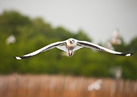 dieren: Meeuw vliegen