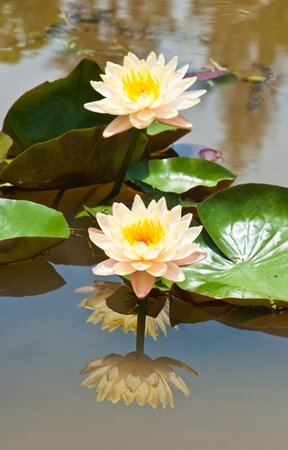 two white lotus Stock Photo