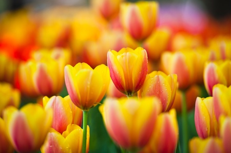 Colorful Tulips in Garden  photo