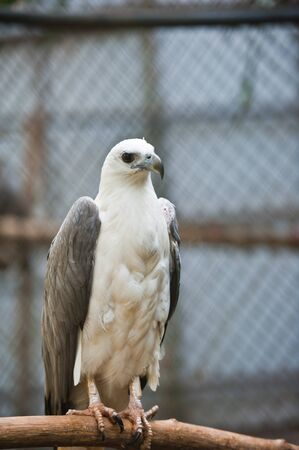 bellied: White-bellied Fish Eagle