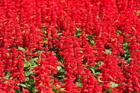 florae: Salvia splendens (Scarlet Sage or Tropical Sage)  Stock Photo