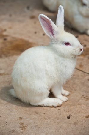 lapin blanc: Cute Rabbit