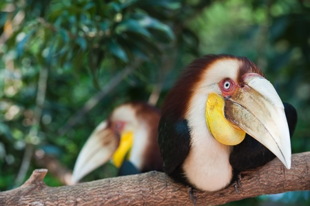 Two Wreathed Hornbill photo