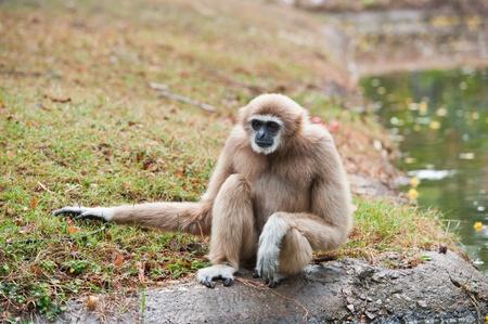 gibbon: White handed Gibbon or Lar Gibbon