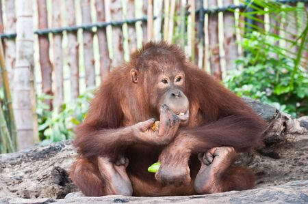 orang: Orangutan