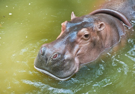 Hippopotamuses  photo