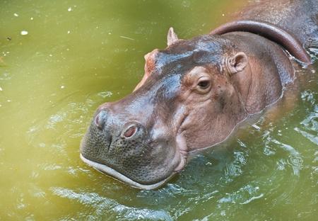 hippopotamus: Hippopotamuses