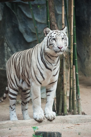 White tiger in water  photo