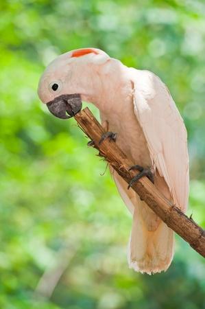 preening: Yellow-crested Cockatoo (Cacatua sulphurea)
