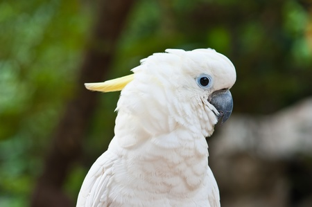 maccaw: Yellow-crested Cockatoo (Cacatua sulphurea)