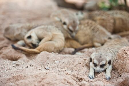 kalahari: Family of Meerkats