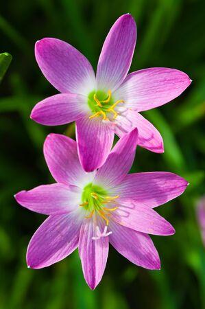 Two pink crocus flowers
