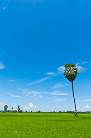Palm tree in a rice field with blue sky photo