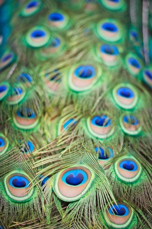 Feathers of a peacock photo