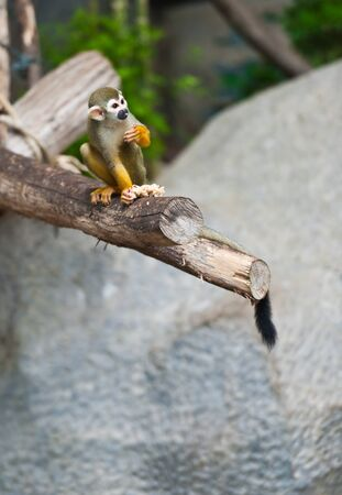 Squirrel monkey in a branch Stock Photo - 11298213
