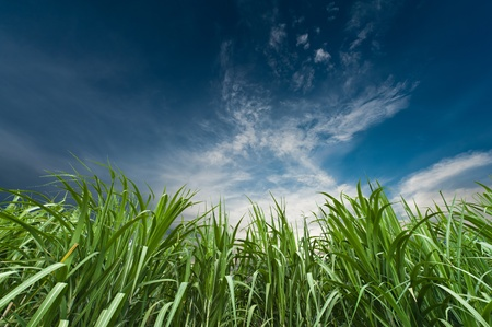 field of thai: Sugar cane with nice sky Stock Photo