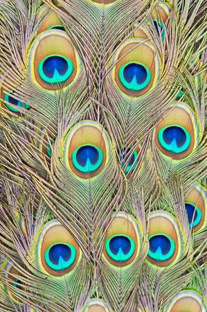 Feathers of a peacock Stock Photo - 11309665