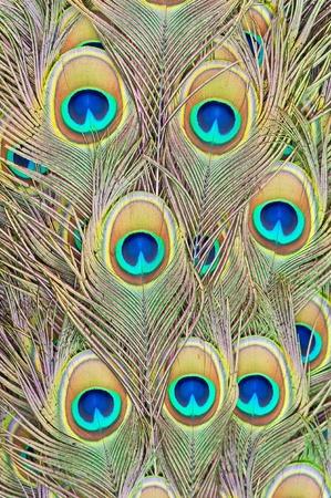 plumas de pavo real: Las plumas de un pavo real Foto de archivo