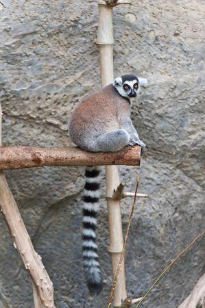 Lemur de cola anillada Foto de archivo - 11309764
