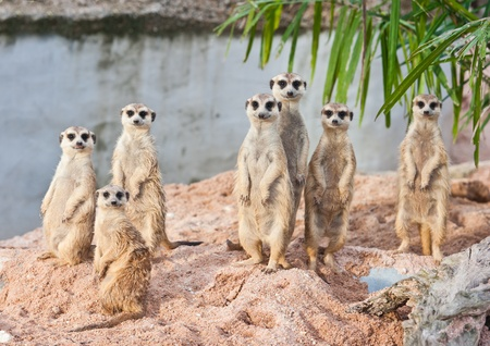 suricata suricatta: Family of Meerkats Stock Photo