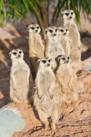 suricata suricatta: A Group of Meerkats